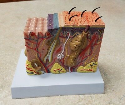 Enlarged Anatomical Model of Normal Skin Cross Section  for Teaching / Medical
