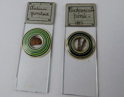 2 Stunning 3 x 1 inch Victorian Microscope Slides by Same Mounter