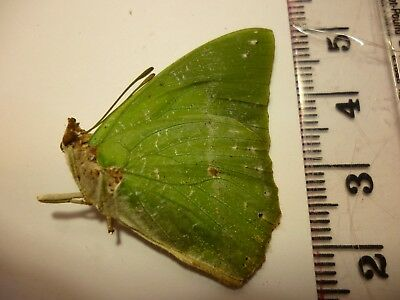 Real Dried Insect/Butterfly/Moth Non-Set.B4011 Bright Green Charaxes eupale