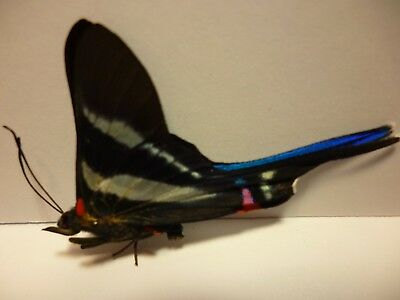 Real Dried Insect/ButterflyNon Set B4158 Rare Blue Rhetus arcius South America