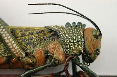 LARGE ACRIDIDAE SPP. *female* UNMOUNTED A1 INSECT GRASSHOPPER ORTHOPTERA XXL