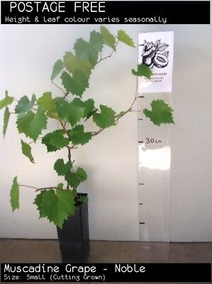 Muscadine Grape - Noble (Vitis rotundifolia) Fruit Tree Plant
