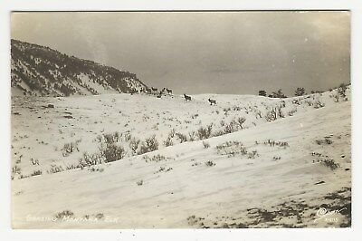 RPPC Grazing elk on the snow-covered Montana mountains, Montana