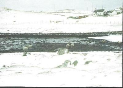 Walls, Shetland - The Waddle, sheep - postcard c.2000s