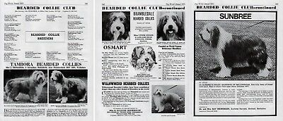 Bearded Collie Club Dog Kennel Advert Pages Dog World 1973 Various Kennels