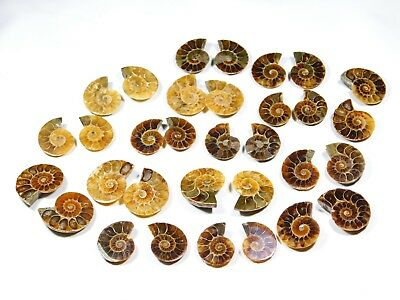 250Ct Top Rare ! Fossilized Ammonite 10 Matched Pair Wholesale Lot Fine Quality