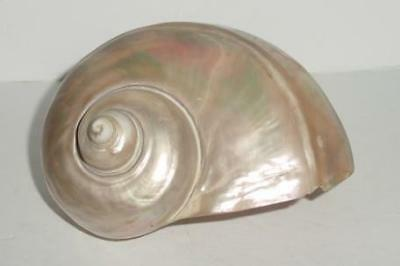 Stunning Iridescence Antique Nautilus Shell - Mother of Pearl Natural Shell  # 2