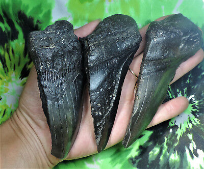 Lot Of 3 Partial Megalodon Teeth No Restorations Fossil Sharks Tooth