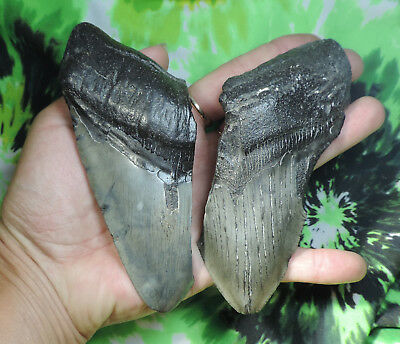 2 Megalodon Sharks Teeth No Restorations Fossil Sharks Tooth