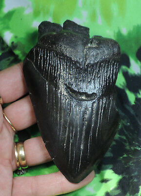 Solid 4 7/16'' Megalodon Sharks Tooth No Restorations Fossil Sharks Teeth