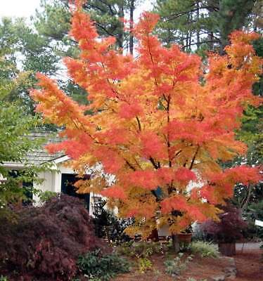 Rare Sango Kaku Japanese Maple Tree Seeds Acer Palmatum Great For Bonsai 5 00 Picclick