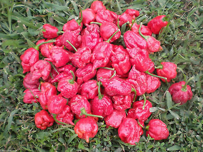 100 Trinidad Scorpion MORUGA Pepper seeds *World's Hottest * PROMOTIONAL OFFER