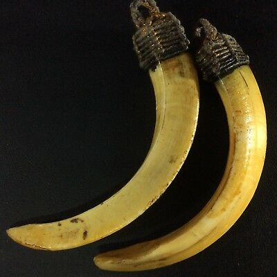 Ancient Amulet Real 2 Wild BOAR Pig Teeth Animal Pendant Tooth Power Thai Swine