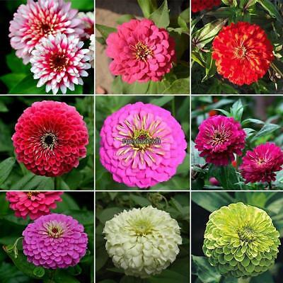 Dianthus Chinensis Seeds Mixed Colors Bonsai Chinese Pink Flower Seeds RLWH 02