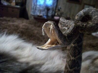 Real mounted xxlg diamondback rattlesnake stuffed taxidermy home office decor