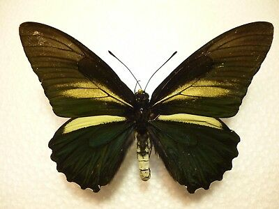 Real Butterfly/Insect Set/Spread B4203 Rare Large Battus crassus 9 cm