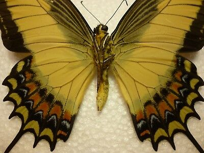 Real Butterfly/Insect Set/Spread B4206 Rare Large Papilio androgeus  12 cm