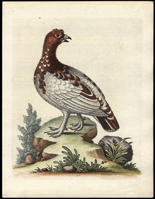 The White Partridge 1743 Original George Edwards Hand Colored Copper Engraving