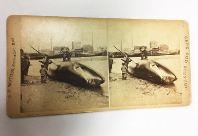 Beached WHALE Stereoview CAPE COD SCENERY G.H. Nickerson Provincetown MA Photo