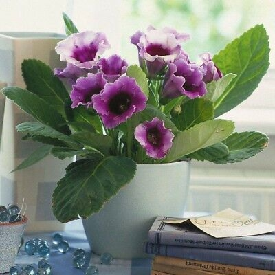 1 Pack 100Pcs Mixed Colors Gloxinia Seed Perennial Flower Plant For Balcony S120