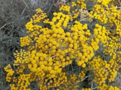 250  Graines d'Hélichryse, Immortelle d'Italie, Helichrysum italicum Curry seeds
