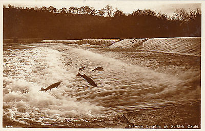 Salmon Leaping At The Cauld, SELKIRK, Selkirkshire RP