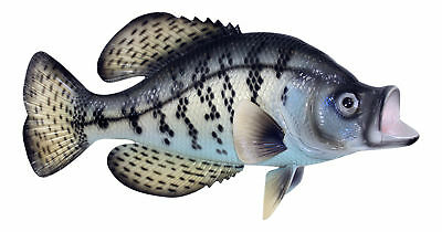 Fishermans Dream Black Crappie Fresh Water Fish 14 Inch Resin Wall Decor Plaque