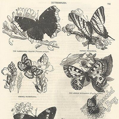 Butterflies: antique 1866 engraving print insect animal moth drawing art picture