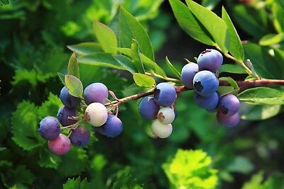 50 Graines de Myrtillier commun, Myrtille sauvage, Vaccinium myrtillus seeds
