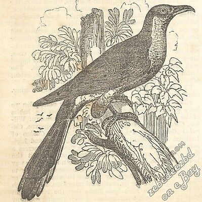 Yellow-Billed Cuckoo: antique 1837 engraving print: animal picture wildlife bird