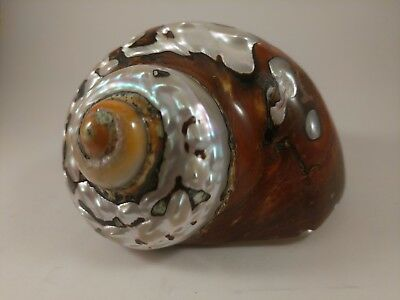 Beautiful Turbo seashell polished sea shell   Mother of pearl