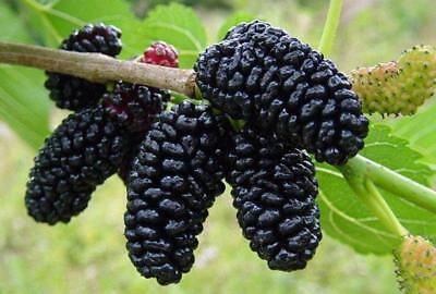 100 Graines de Mûrier noir, Morus nigra, Black Mulberry Tree seeds