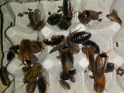 DUBIA ROACHES Starter Colony Actively Breeding Adults! 20 F/ 10 M