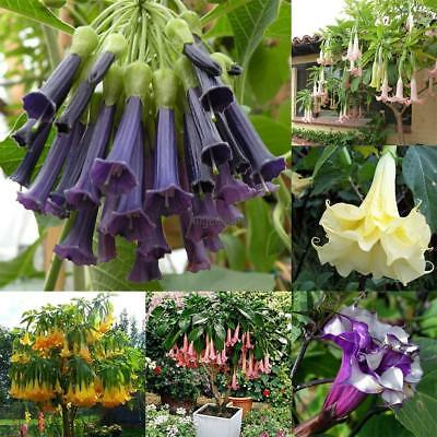 100pcs/Bag Datura Brugmansia Seeds Potted Bonsai Trumpets Angel Flower AGSG 03
