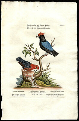 1773 Susemihl Hand Colored Copper Plate Engraving The Blue and Red Manakin