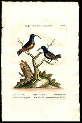 The Indian Crimson Creepers 1764 Susemihl Hand Colored Copper Plate Engraving