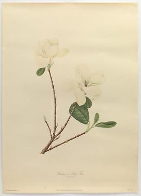 VINTAGE Botanical Illustration LITHOGRAPH Limited Edition MAGNOLIA Lily #686