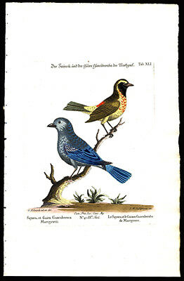 1773 Susemihl Hand Colored Copper Plate Engraving The Sayacu and The Guira