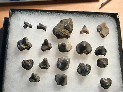 Frame Of Fossil Shark And Crusher Teeth Piere Shell  Wyoming Wolf Family Coll.