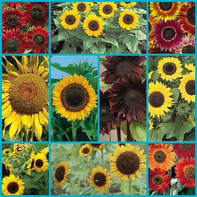 Sunflower Seeds Hybrid Mix 50 Seed Assortment.  Includes Multi Heads and Giants