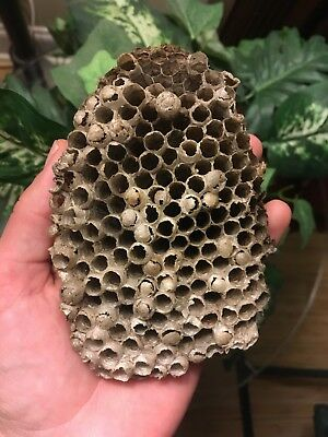"""🐝 Natural Paper Bee Nest Comb Found On Ground In Nature  5"""" X 3.5"""" Science"""
