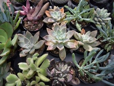 * NEW SUCCULENTS ADDED to 10 Assorted Succulent / Cactus Cuttings & Plant