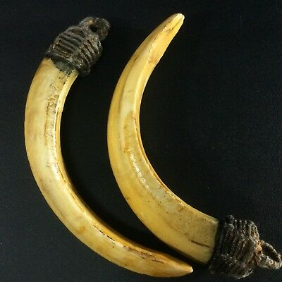 Ancient Amulet Real 2 Wild BOAR Pig Teeth Holy Pendant Tooth Power Thai Swine