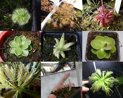 25 Seeds Drosera and mixed pinguiculas Carnivorous plants (INSPIRED GERMINATION