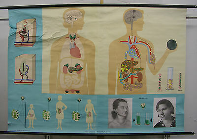 Schulwandkarte Wall Picture Hormone Glands Steroids 164x115 Vintage Chart ~ 1970