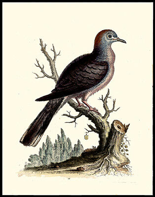 1743 Dove  Striped or Bared George Edwards Copper Plate Engraving Hand-Colored