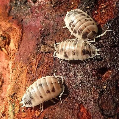 porcellio laevis dairy cow isopods x 6 (nymphs)