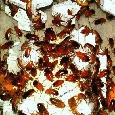 Red Runner Roaches MIXED NYMPHS - Dubia Roaches alternative - Cricket substitute