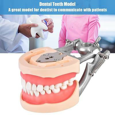 New Dental Typodont Model 32 Teeth Removable Tooth Model Practice Standard UK