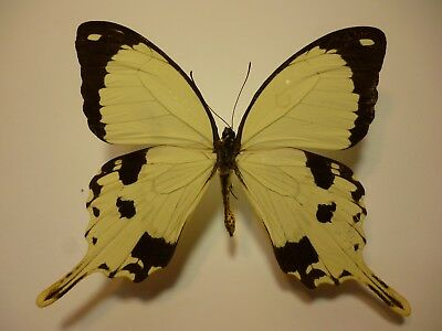 Real Butterfly/Insect/Moth Set/Spread B4241 Large Papilio dardanus  8 cm A+